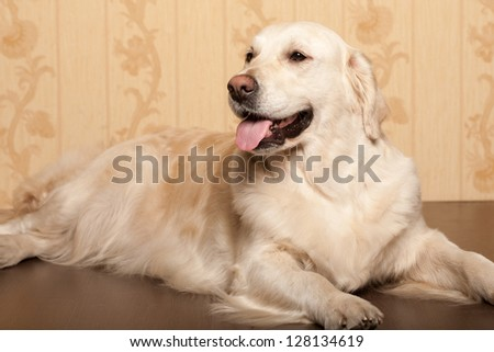 Portrait of a young male Labrador Retriever - stock photo