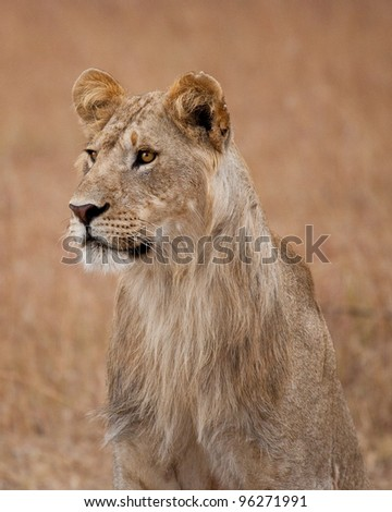 Portrait of a young male Lion in Kenya African