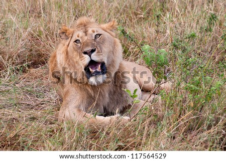 Portrait of a young male lion in Masai Mara National Park - Kenya - stock photo