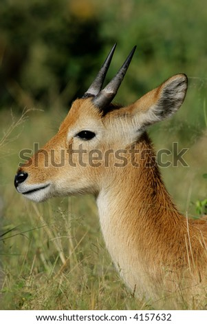 Portrait of a young male puku antelope (Kobus vardonii), Chobe National Park, Botswana	 - stock photo