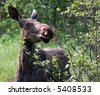 Portrait of a young moose eating - stock photo