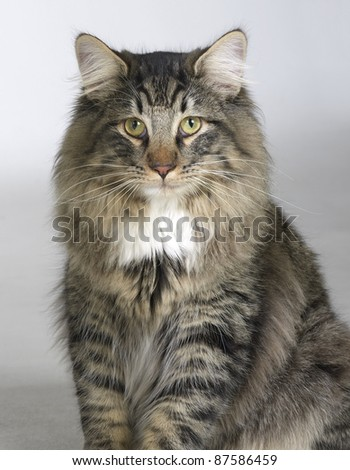 portrait of a young Norwegian Forest Cat in grey back