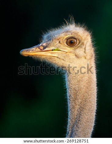 Portrait of a Young Ostrich Bird with a Blade of Grass in it's Beak - stock photo