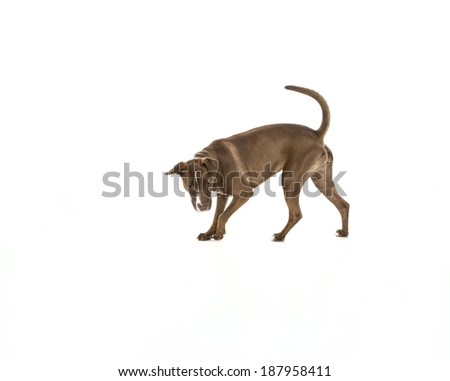 Portrait of a young Pitt Bull and Labrador Retriever mix dog searching or hunting  for something and isolated on white. - stock photo