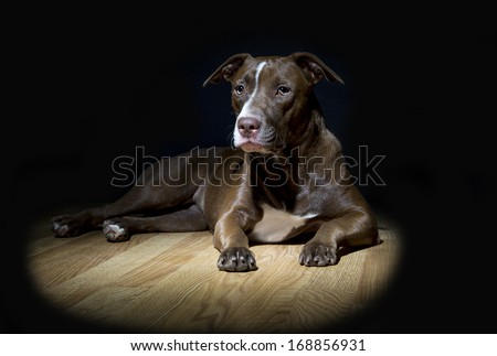 Portrait of a young Pitt Bull and Labrador Retriever mix laying down and resting on a wooden floor and lit with a spotlight. - stock photo