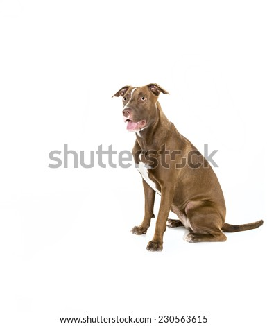 Portrait of a young Pitt Bull and Labrador Retriever mix sitting in  profile and isolated on white. - stock photo