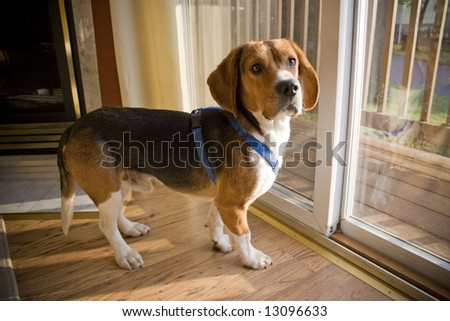 Portrait of a young, tri-colored beagle puppy. - stock photo
