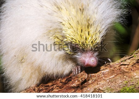 Portrait of a young white orange-spined hairy dwarf porcupine on a branch.  - stock photo