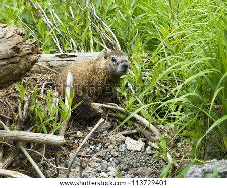 Portrait of a young yellow-bellied marmot in Yellowstone National Park