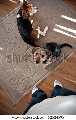Portrait of a young yorkshire terrier beagle mix dog looking up at his owner.  Shallow depth of field. - stock photo