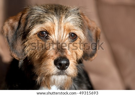 Portrait of a young yorkshire terrier beagle mix dog.  Shallow depth of field. - stock photo