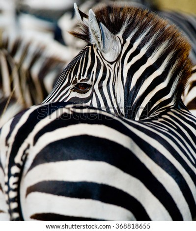 Portrait of a zebra. Close-up. Kenya. Tanzania. National Park. Serengeti. Maasai Mara. An excellent illustration. - stock photo