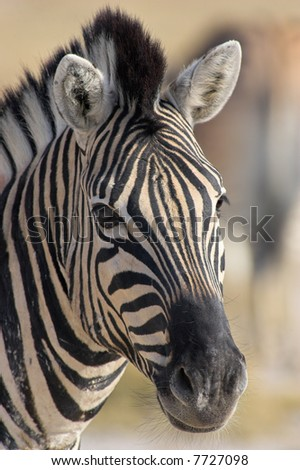 Portrait of a zebra - the shot was taken in the Etosha Park, Namibia.