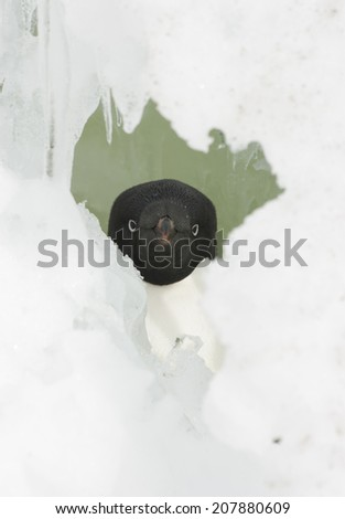 Portrait of Adelie penguins in the snow box. - stock photo