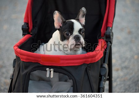 Portrait of Adorable French Bulldog on the pushcart ot stroller - stock photo