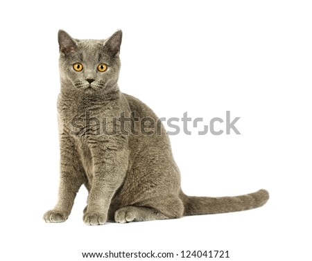 Portrait of adorable gray British Shorthair cat on a white background. - stock photo