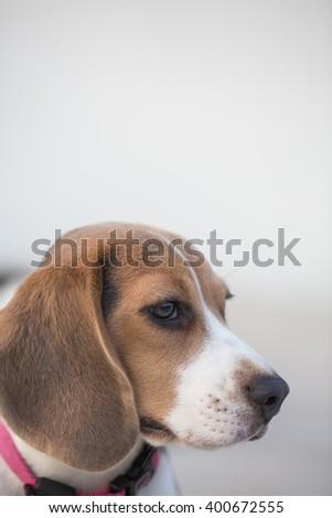 Portrait of adorable puppy beagle. Selective Focus Point - stock photo