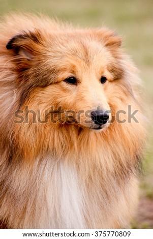 Portrait of adorable shetland sheepdog - stock photo
