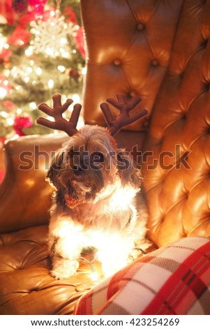Portrait of Adorable Yorkshire Terrier Dog Wrapped in Christmas Holiday Lights Sitting on Leather Chair with Antlers  - stock photo