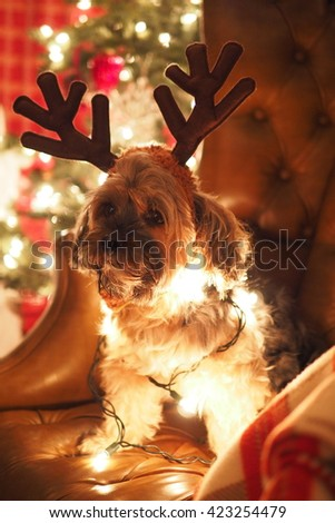 Portrait of Adorable Yorkshire Terrier Dog Wrapped in Christmas Holiday Lights Sitting on Leather Chair with Antlers During Christmas - stock photo