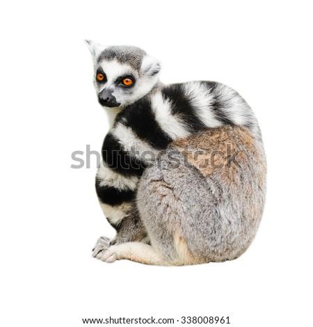 Portrait of adult lemur katta (Lemur catta) on white background - stock photo