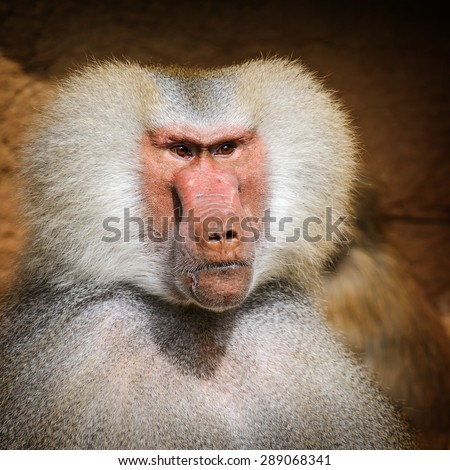 Portrait of adult male hamadryas baboon