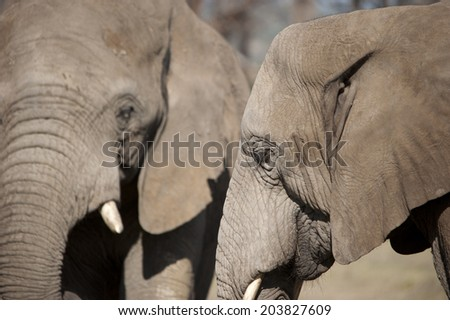Portrait of Afrian Elefans standing with each other, South Africa - stock photo