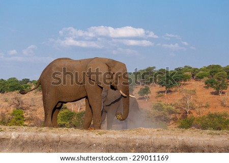 Portrait of African Elephant in Chobe National Park, Botswana. True wildlife photography