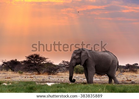 Portrait of african elephants with dusk sky, Etosha national Park Ombika Kunene, Namibia, wildlife photography - stock photo