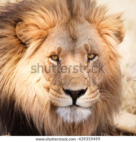 Portrait of African lion in dry Savannah in Zambia close up
