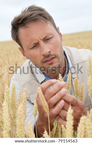 Portrait of agronomist analysing wheat ears - stock photo