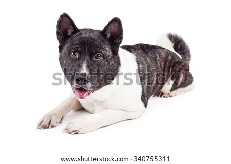Portrait of alert Akita lying on white background