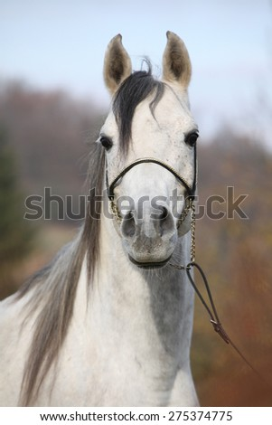 Portrait of amazing arabian horse with show halter in autumn - stock photo
