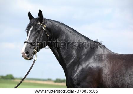 Portrait of amazing black welsh part-bred stallion - stock photo
