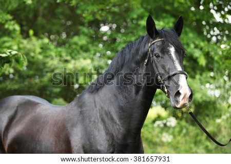 Portrait of amazing black welsh part-bred stallion