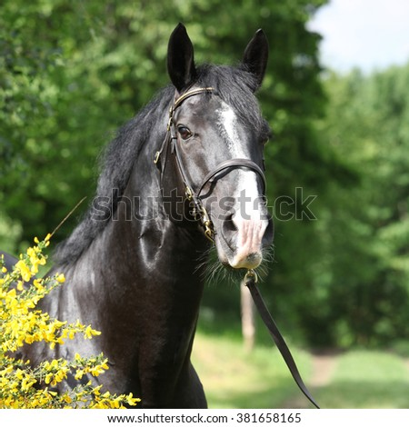 Portrait of amazing black welsh part-bred stallion with flowers - stock photo