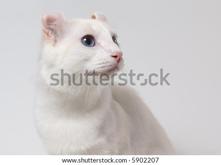 Portrait of american curl cat with blue eyes