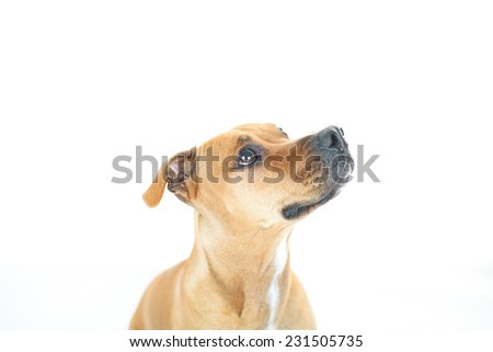 Portrait of American Pit Bull Terrier, Beautiful dog sitting down isolated over a white background. - stock photo