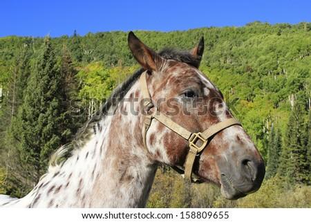 Portrait of american quarter horse, Rocky Mountains, Colorado, USA - stock photo
