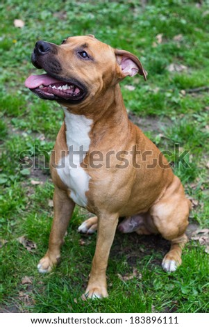Portrait of American Staffordshire terrier - stock photo