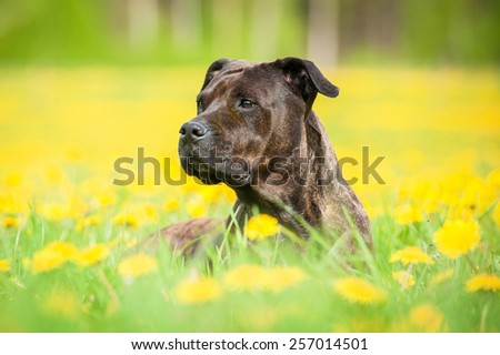 Portrait of american staffordshire terrier dog lying in dandelions - stock photo