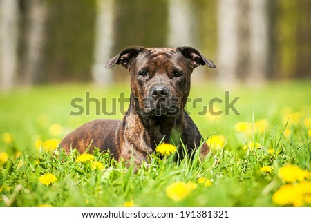 Portrait of american staffordshire terrier lying in dandelions - stock photo