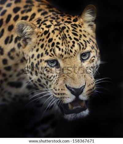 Portrait of Amur Leopard summer