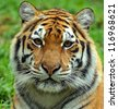 Portrait of Amur Tigers - stock photo