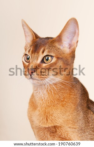 Portrait of an Abyssinian cat on cream background - stock photo