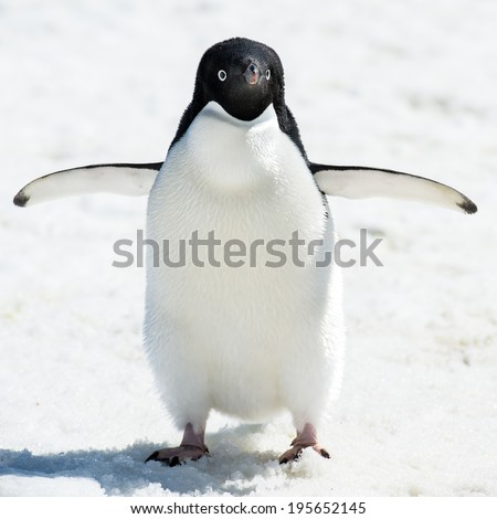Portrait of an Adelie penguin (Pygoscelis adeliae) on on the snow - stock photo