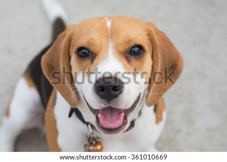 Portrait of an adorable beagle (Selective focus Point) - stock photo