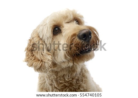 Portrait of an adorable Bolognese dog, studio shot, isolated on white.