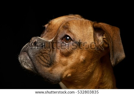 Best Boxer Black Adorable Dog - stock-photo-portrait-of-an-adorable-boxer-dog-studio-shot-isolated-on-black-532803835  Gallery_973559  .jpg