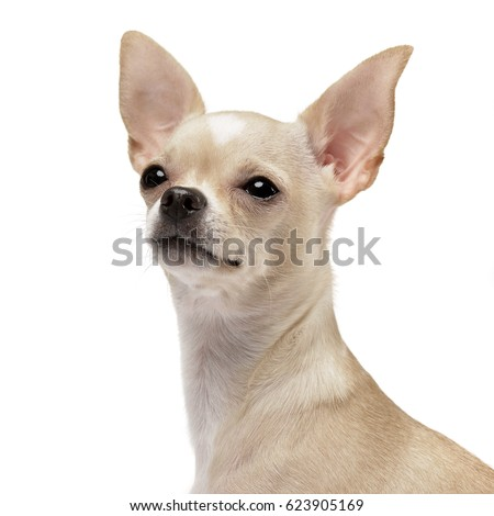 Portrait of an adorable Chihuahua - studio shot, isolated on white.